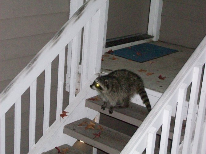 That's one well-fed raccoon, thanks to my generous cat, Blackie, who likes to share...in Ocean Beach.