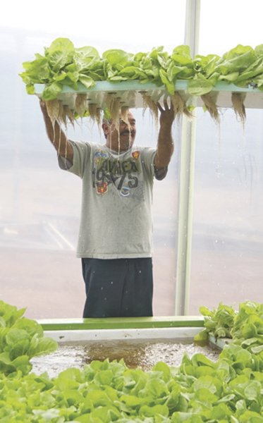 Dean Ramirez harvests a raft of butterhead lettuce from its fish-filled grow tank.
