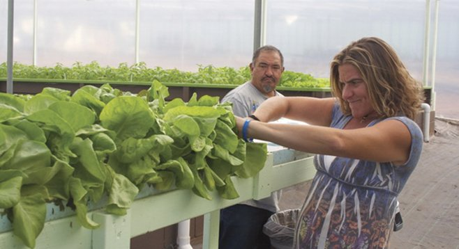 Candace Konoski of Vista cuts heads of lettuce at the Solutions Farms aquaponics facility in Vista.