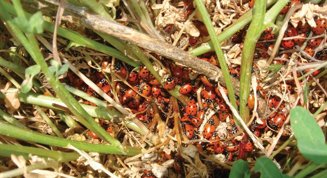 Dozens of lady bugs cluster in a patch of bunch grass alongside the trail.