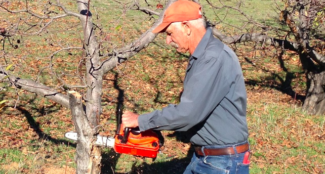 Ray Meyer recommends a 12-inch chainsaw for cutting apple-tree branches