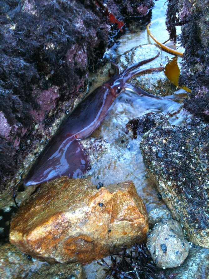 Beautiful beached purple squid, Cannery Row, Monterey, CA