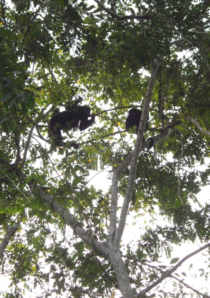 Found in the rainforests of the Americas, black howler monkeys can be heard over two miles away.
