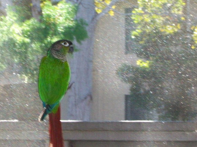 Sonny the conure enjoys fresh air on a screen door in Ocean Beach.