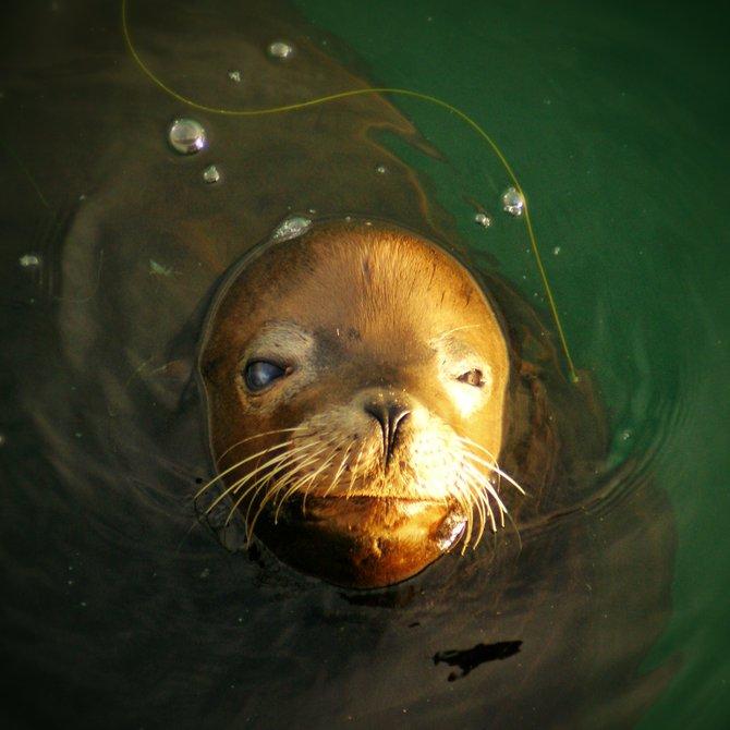 Fish Thief // Ocean Beach Pier   Chris Nies  @sandiegochris