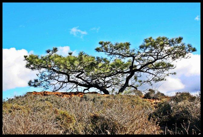 Torrey Pine Beauty. Torrey Pines State Park.