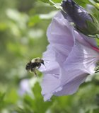 Bee at work. Asheville Arboretum.