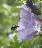 Bee at work. Asheville Arboretum.