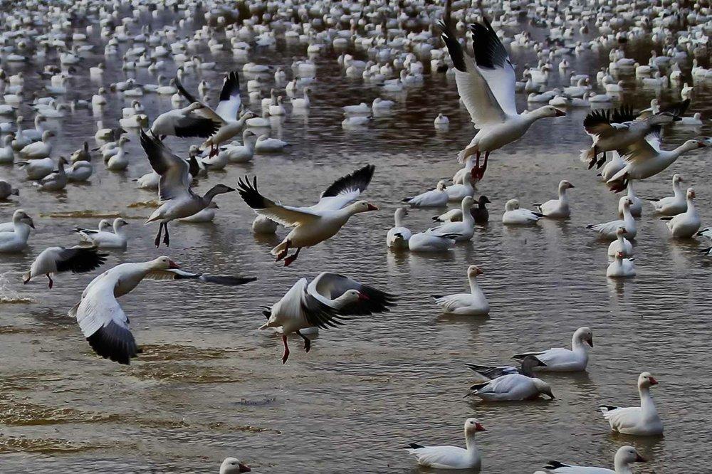 Snow geese on the Rio Grande.
