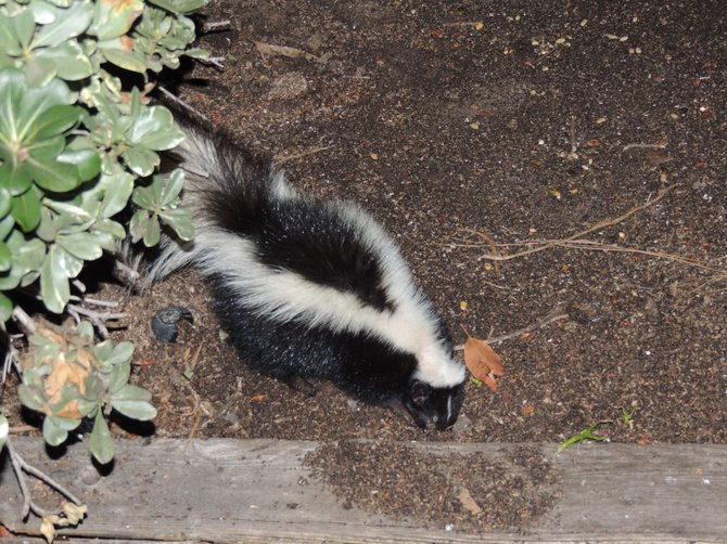 Skunk visits our garden in Tierrasanta