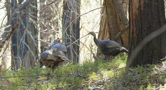 Wild turkeys roam William Heise County Park