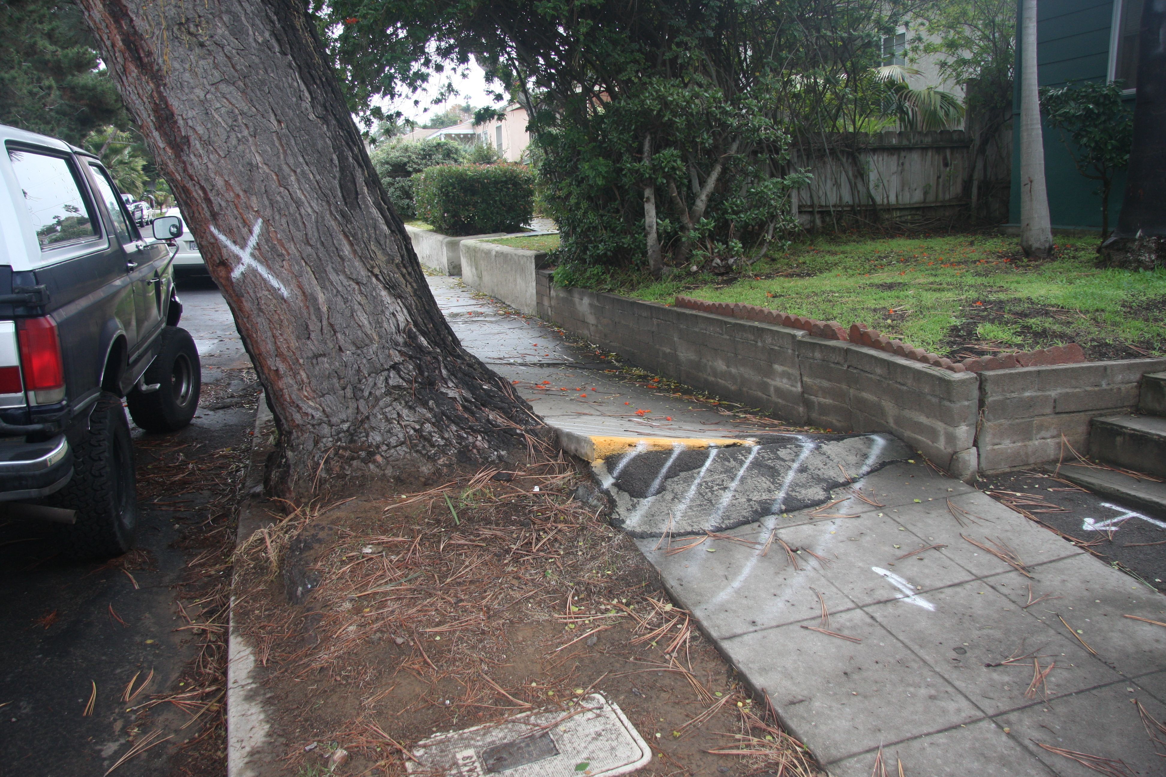 """This tree was """"saved"""" by a storm of public protest, including a neighborhood newspaper and a farm advisor/tree """"expert."""" Note the damage to the sidewalk where the roots being pulled out of the ground have raised up. What is happening is that smaller roots branching from the anchoring root near the base of the tree (pivot point) are breaking one by one (or more) but those remaining unbroken are still strong enough to keep the entire anchoring root from pulling all the way out—for now. When a few more branching roots break, the inevitable will happen. Damage to property is highly likely, and injury or death to people or animals is a matter of whether or not they are in the wrong place at the right time."""