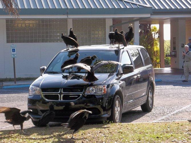Everglades vultures descend on a strange visitor.