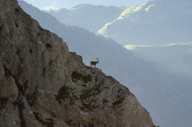 A cliff-perched ibex near Mt. Pilatus contemplates the view.