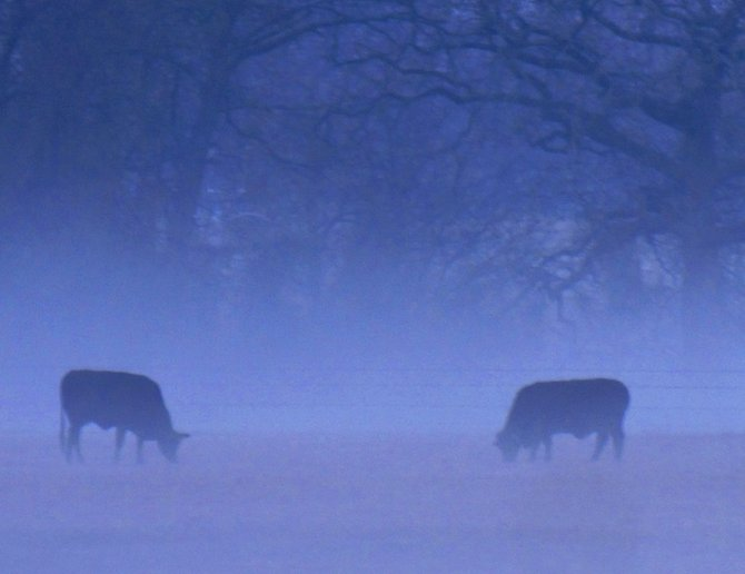 Texan steers grazing in the early morning mist.