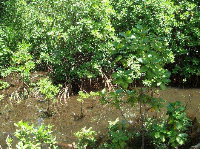 """""""Sakrasric"""" mangrove plant."""