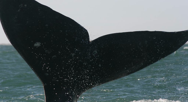 The author's whale-watching boat gets a tail whack from a peeved bull whale.