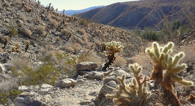Cholla cacti line the trail and hillsides on the Cactus Loop Trail.