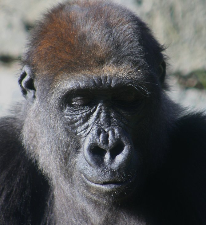 mindful gorilla