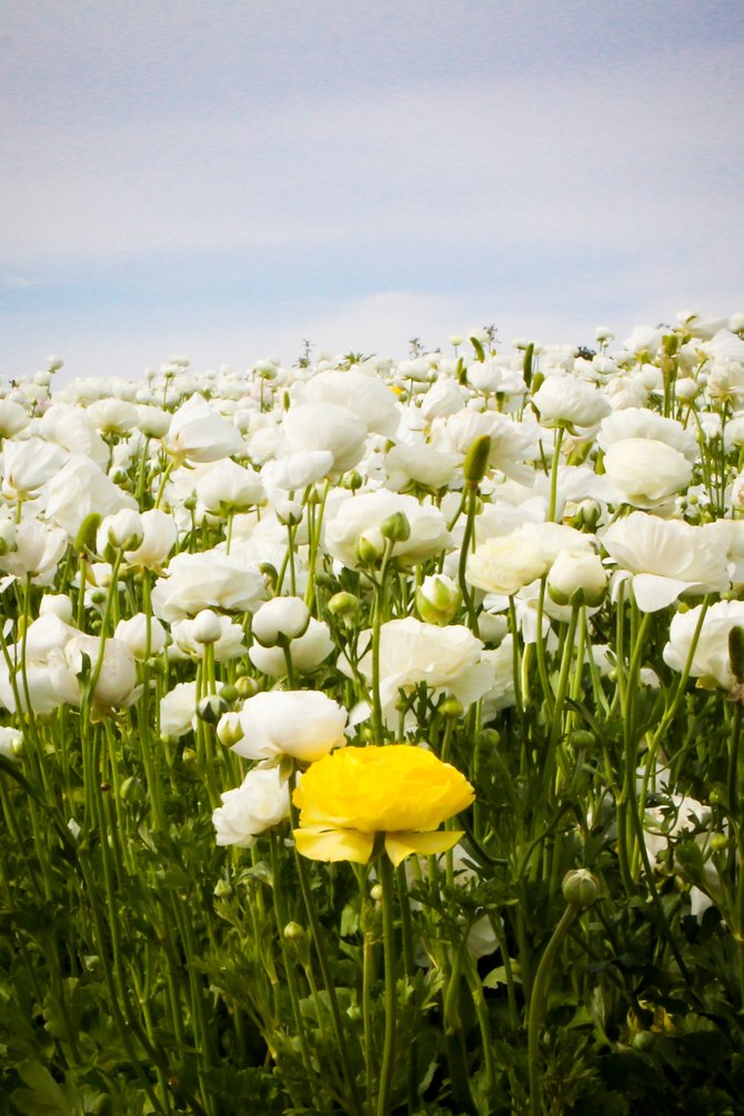Carlsbad Flower Fields. The one yellow flower