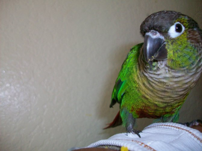 My son, Sonny the conure.