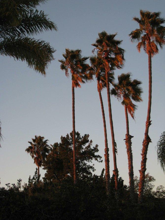 Palm trees at sunset. (San Carlos)