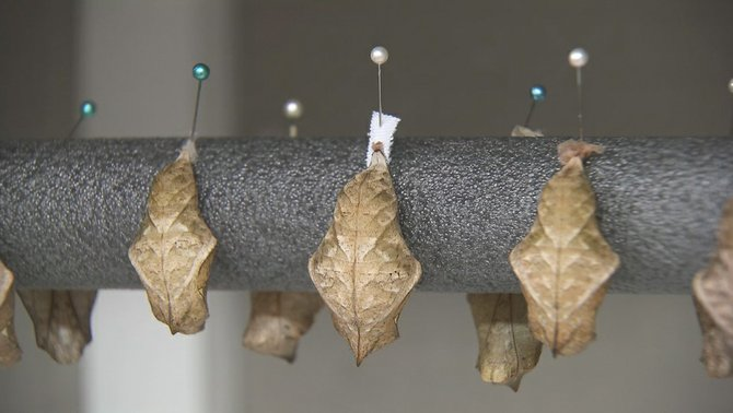 Pupae hung by their pins with care.