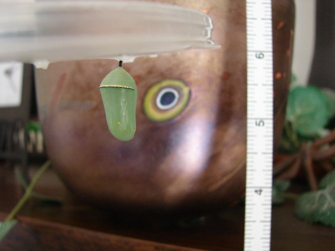 Green jade-like Monarch chrysalis, first week after caterpillar stage.