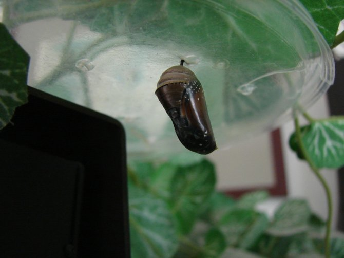 Final week of Monarch chrysalis. Wings and body visible.