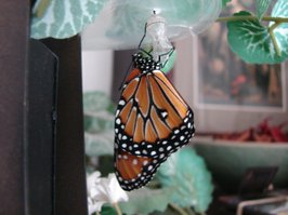 Monarch just broke open the chrysalis shell and is hanging while soft wings dry and harden.