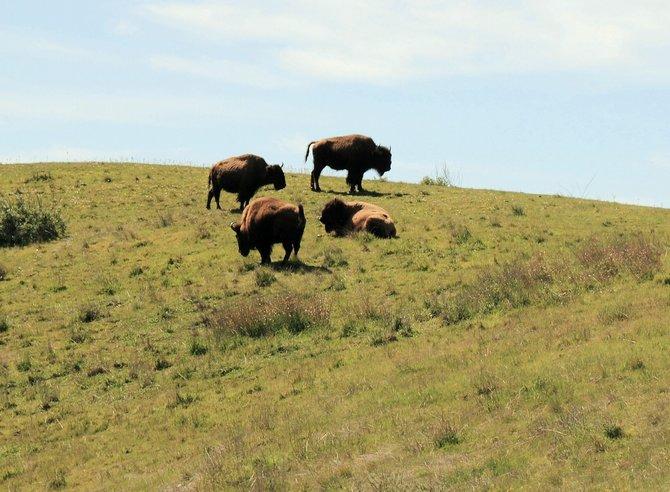 Buffaloes on Catalina Island.
