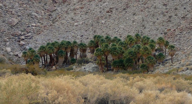 Kumeyaay Indians once camped and harvested palm fruit and mesquite pods at Palm Grove in the Anza-Borrego Desert.