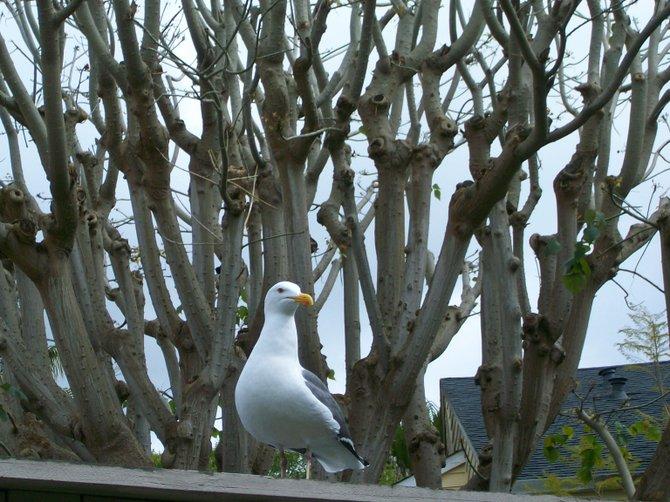 Curious sea gull watching me eat some delicious nachos in Ocean Beach.