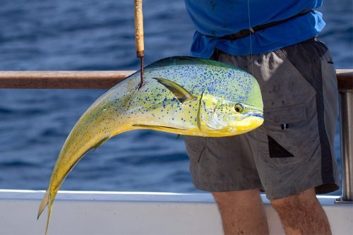 Fresh dorado caught aboard the Searcher.