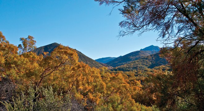 Ribbonwood casts a golden tint to the chaparral-covered hillsides along Agua Caliente Creek