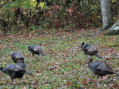 Wild turkeys in the Smokies (the real thing, not the bourbon).