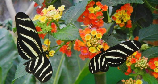 Two Zebra Longwing Butterflies at San Diego Zoo Safari Park's Butterfly Jungle, Escondido CA