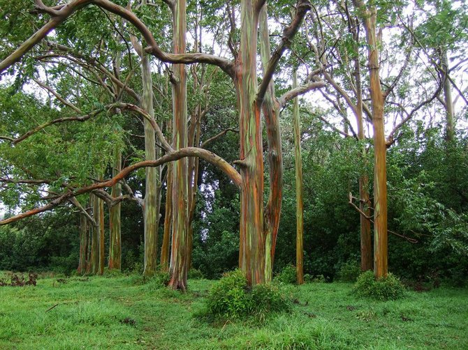 Painted Bamboo on the Road to Hana in Maui