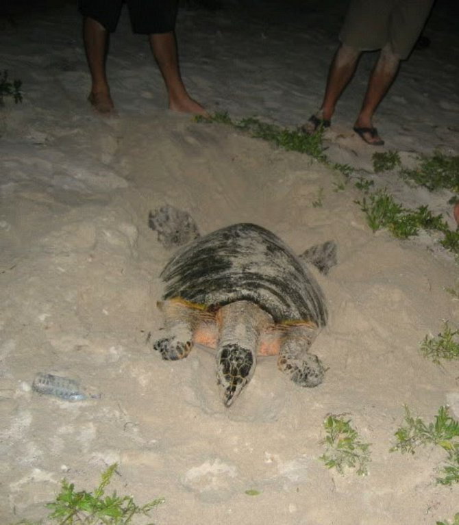 Female turtle ready to lay eggs at night