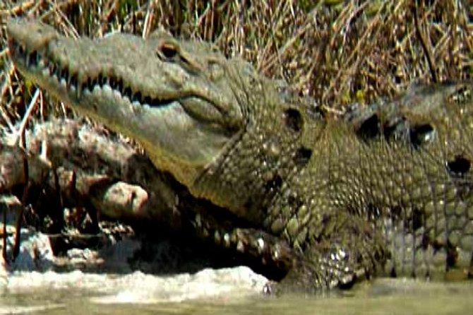 A local alligator