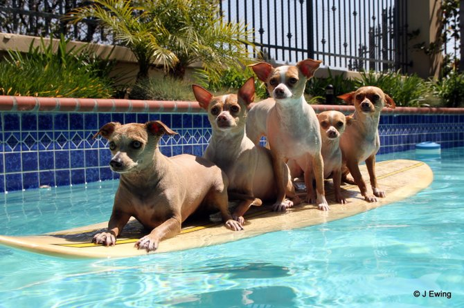 How many Chihuahuas can you fit on a surfboard! 