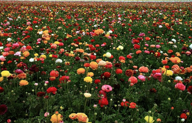 Millions of Renuculus buds await you at the Carlsbad Flower fields