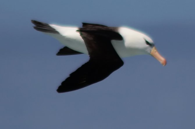 Black-browed Albatross, the most common bird around Cape Horn.