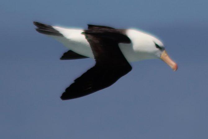 Black-browed Albatross, the most common bird around Cape Horn.