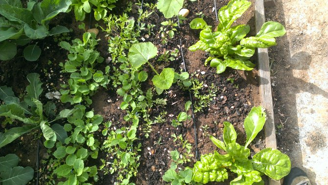 The center of this lettuce bed shows two weeks of growth from seed. Rain water is used via drip irrigation.