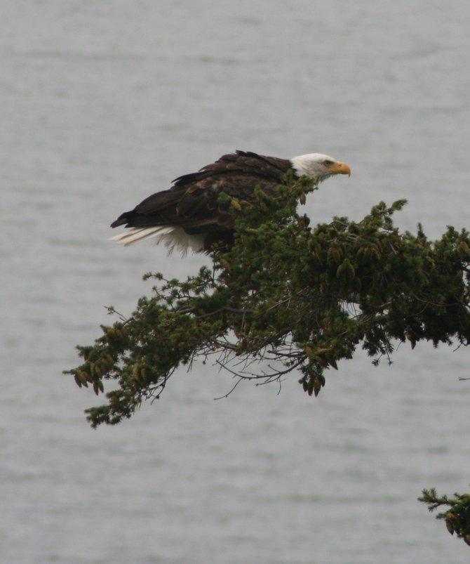 backyard resident  - Whidbey Island,Washington