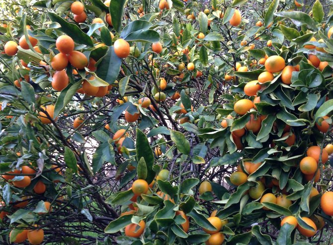 Kumquats - before picking