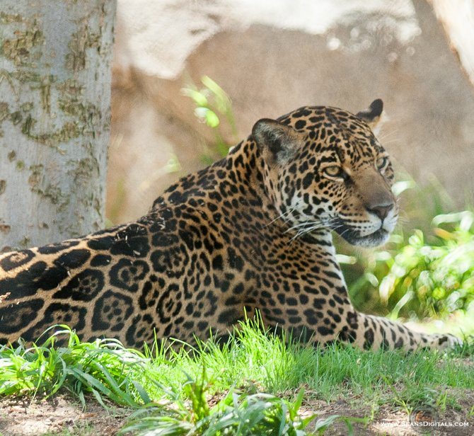 A beautiful Leopard relaxing in the sun, at the San Diego Zoo