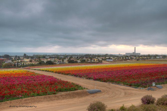 Flower fields at dusk    Carlsbad