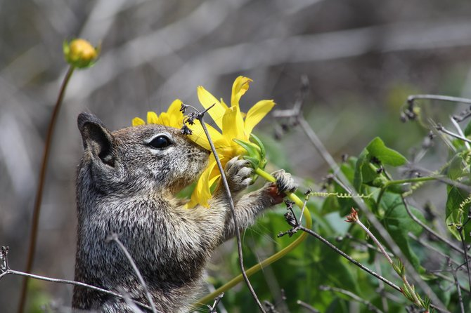 A squirrel stops to smell the flowers at Torrey Pines State Park.